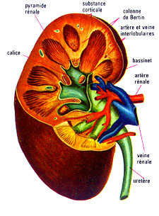 La douleur à gauche à côté du nombril et dans les reins